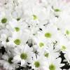 Crizantemă albă