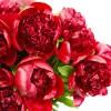 Bujor roșu