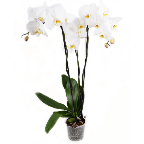 Orhidee albă